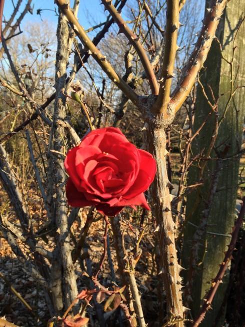 Winter Rose by Nicole Peyrafitte